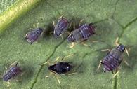 Adult cowpea aphid is shiny black while nymphs are gray.