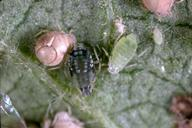 Melon aphids and mummy.