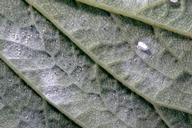 Iris whitefly lays its eggs in patches of wax that resemble powdery mildew.