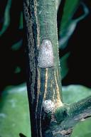 Fruittree leafroller egg masses