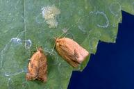 Adults and an egg mass of the orange tortrix, Argyrotaenia franciscana.