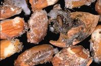 Navel orangeworm pupae are encased in woven cocoons that may be found within webbing and frass inside nuts.