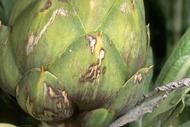 Scarring of artichoke bracts caused by gray garden slug, Deroceras reticulatum (Agriolimax reticulatus), feeding on the young artichoke bud.