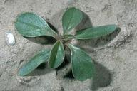 Pigweed seedling.