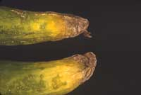 Soft, water-soaked, yellow ends of cucumber with gray mold caused by Botrytis cinerea.