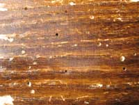 Powderpost beetles leave tiny, round exit holes in wood after they emerge as adults.