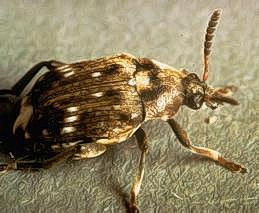 Pea weevil adult