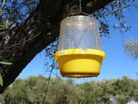 McPhail-type trap hung in an olive tree.
