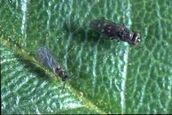The shore fly (right) has a more robust body and shorter antennae than a fungus gnat (left).