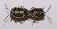 Adult female Bagrada bug, Bagrada hilaris, (left) and adult male (right).