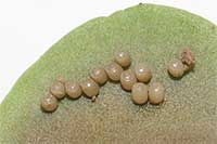 Bagrada bug eggs.