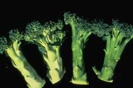 Broccoli whitestalk resulting from silverleaf whitefly feeding.