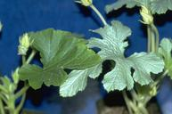 Healthy squash leaf (left) and silvering leaf caused by whitefly feeding.