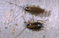 adult and nymphs of the German cockroach.