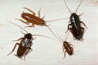 Adult and nymphs of oriental cockroach.