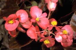 Blossoms of begonia