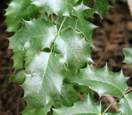 Foliage of California holly grape