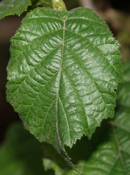 Leaf of Contorted filberr