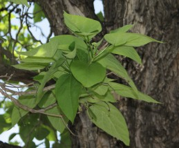 Leaves of catalpa