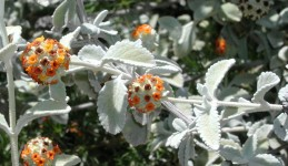 Foliage and flowers of Buddleja