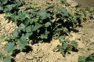 Overall stunting of cantaloupe plant infected with curly top virus.