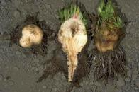 Root proliferation and vascular discoloration symptoms of rhizomania.