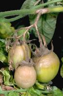 Powdery mildew causes irregular yellow blotches on tomato leaves.