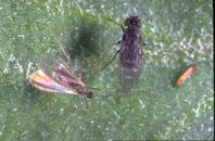 Adult fungus gnat (left) and shore fly.