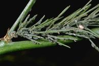 European asparagus aphid colony.