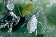 Cabbage aphid wingless adult.
