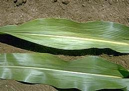 Symptoms of mosaic virus on corn leaves