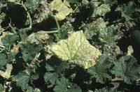 Cucurbit aphid-borne yellows luteovirus causes a general yellowing and eventual thickening of the older leaves with the major leaf veins remaining green.