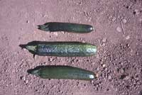 Zucchini fruit with symptoms of Cucumber mosaic virus (center) has a warty surface.