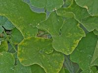The first symptom of cucurbit yellow stunting disorder is a yellow spotting of leaves.