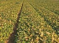 A melon field severely affected by cucurbit yellow stunting disorder.
