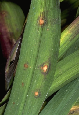 Leaf spot on Freesia
