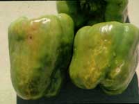 Discolored, distorted, pepper fruit with a bumpy surface.