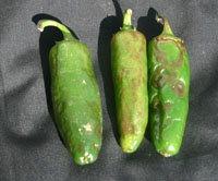 Discolored and distorted chili pepper fruit with a bumpy surface caused by Cucumber mosaic cucumovirus.