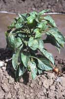 A pepper plant infected with Cucumber mosaic virus showing leaf curling and mosaic.