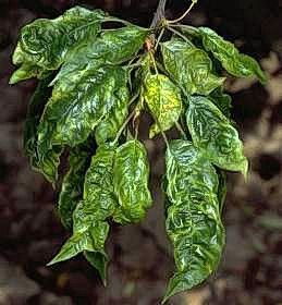 Mottle leaf virus