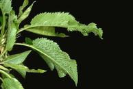 Cherry rasp leaf (virus)