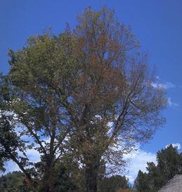 Brown foliage from Dutch elm disease