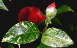 Pale mottling of camellia leaves