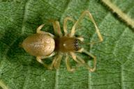 Agrarian sac spider