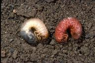 A healthy white grub larva next to a darker one infected with the nematode Heterorhabditis bacteriophora.