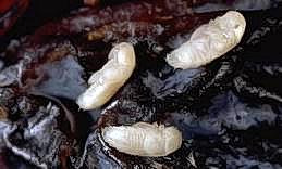 Driedfruit beetle pupae