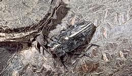 Pacific flatheaded borer adult