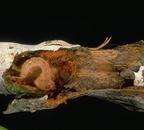 Borer beneath bark