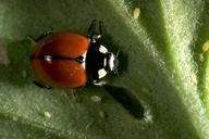 Adult California lady beetle.