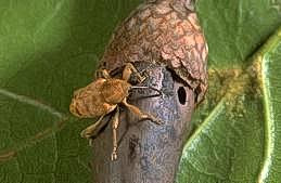 Adult filbert weevil